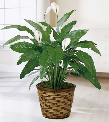 FTD's Spathiphyllum Plant